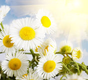 Flower chamomile Royalty Free Stock Images