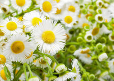 Flower chamomile Royalty Free Stock Photo