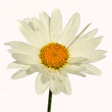 Flower. Chamomile - Chamaemelum nobile White Daisy like flower isolated on white background stock photography