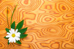 Flower of a chamomile and green leaf is on a background Stock Images