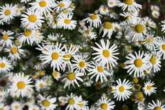 flower chamomile meadow Stock Image