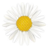 Flower chamomile, medicinal plant. Royalty Free Stock Photo