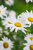 Flower chamomile. Chamomile flower in the middle compared to other daisies Stock Photos