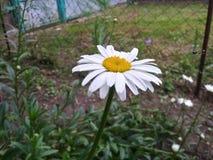 Flower. Chamomile.Nature stock photo