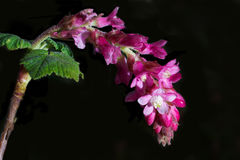 Flower of Chaparral Currant, Ribes malvaceum. Pink flowers of Chaparral Currant, Ribes malvaceum, against black background stock photos