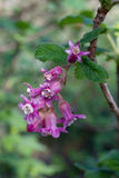 Flower of Chaparral Currant, Ribes malvaceum. Pink flowers of Chaparral Currant, Ribes malvaceum, in nature in California stock photos