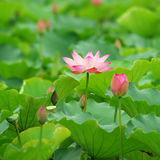 Flower of Charming lotus Royalty Free Stock Photos