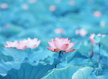 Flower of Charming lotus Stock Photo