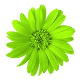 Flower chartreuse calendula isolated on a white background. Close-up. Nature stock images