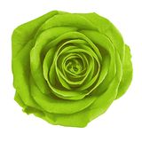 Flower chartreuse green rose isolated on white background. Close-up. Nature stock photo