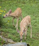 Flower check. A pair of whitetail deer fawns checking the flowers royalty free stock photo