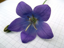 Flower on checkered sheet Royalty Free Stock Photos