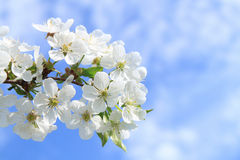 Flower of cherry Stock Image
