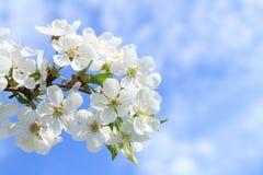 Flower of cherry Stock Image