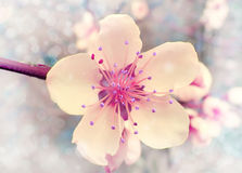 Flower of the cherry blossoms Royalty Free Stock Images