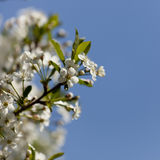 Flower-1. Cherry flower on the blue sky background Stock Photography