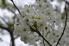 Flower cherry in flowering Royalty Free Stock Images