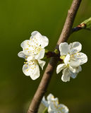 Flower of cherry Royalty Free Stock Images