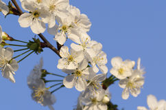 Flower of cherry Stock Photography