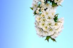 Flower, Cherry, Spring Royalty Free Stock Photography