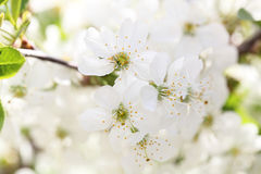 Flower cherry Royalty Free Stock Images