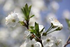 Flower cherry Stock Photo