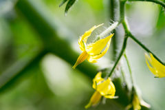 Flower of cherry tomato. On farm Stock Image