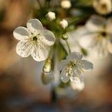 Flower cherry-tree. Spring white flower cherry tree Stock Image