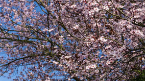 Flower cherry tree with blue sky Royalty Free Stock Image