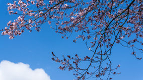 Flower cherry tree with blue sky Royalty Free Stock Photo