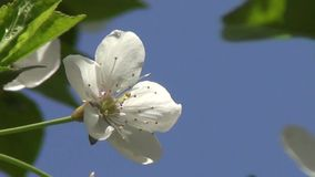 Flower of Cherry Tree stock footage
