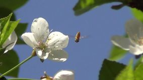 Flower of Cherry Tree stock video