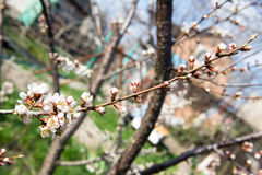 The flower of a cherry tree which blooms on the way. Flowering cherry in the spring, the scent of blossoming apricot. Royalty Free Stock Photo