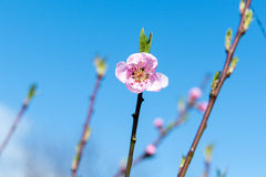 The flower of a cherry tree which blooms on the way. Flowering cherry in the spring, the scent of blossoming apricot. Royalty Free Stock Photos