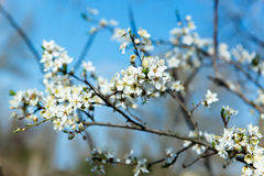 The flower of a cherry tree which blooms on the way. Flowering cherry in the spring, the scent of blossoming apricot. Stock Image