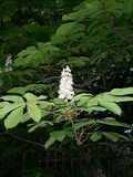 The flower of a chestnut is similar to a candle from flowers Royalty Free Stock Images