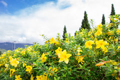 Flower in chiangmai Thailand Royalty Free Stock Images