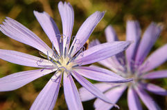 Flower of chicory. Closeup over green Stock Photography