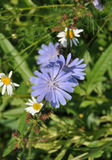 The flower chicory. Grows on a meadow Stock Photo