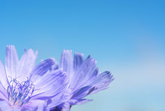Flower chicory on the background of sky. Royalty Free Stock Photography