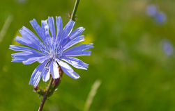 Flower chicory. Blue chicory flower on blurred background stock photography
