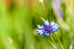 Flower chicory closeup Stock Images