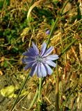 Flower of chicory Royalty Free Stock Images