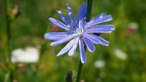 A flower of chicory. The flower of a lecartic chicory plant growing in the vicinity of the city of Pyatigorsk in the Northern Caucasus in the region of the Royalty Free Stock Photos