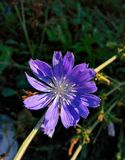 Flower of chicory Royalty Free Stock Photos