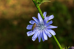 Flower, chicory Stock Photos