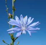 Flower of chicory ordinary. Against blue sky. Stock Photos