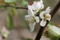 Flower of a Chinese quince Chaenomeles speciosa. White flower of a Chinese quince Chaenomeles speciosa stock photos