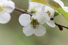 Flower of a Chinese quince Chaenomeles speciosa. White flower of a Chinese quince Chaenomeles speciosa stock photography