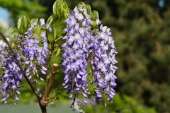 Flower, chinese Wisteria Blue Sapphire royalty free stock image